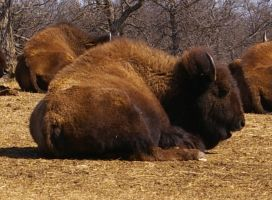American Bison - 1 by OverStocked