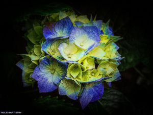 Magical Hydrangea by Tigles1Artistry
