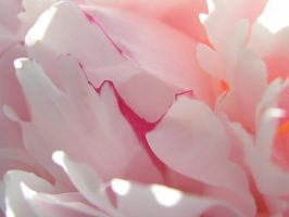 peony 4 by dandelion47