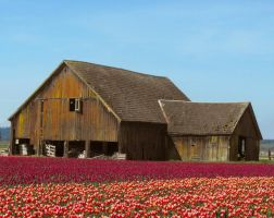 A Barn In The Tulip Field I by Photos-By-Michelle