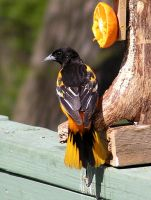 Male Oriole 11 by loopyker-stock