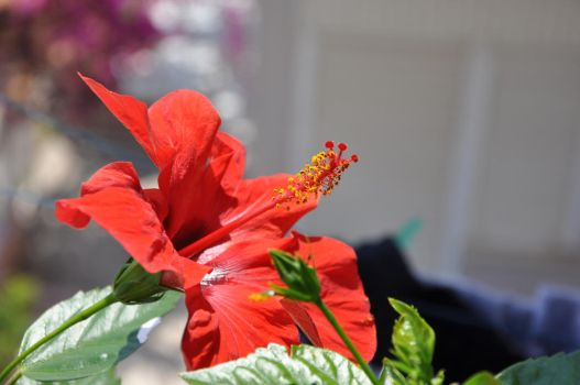 Hibiscus rosa-sinensis by khannoy