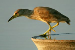 Immature Night Heron 2 by Kippenwolf