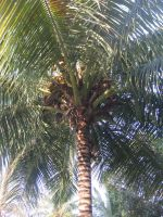 Dry Tropics Coconut Tree by AbstractWater