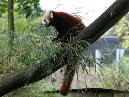red panda by Tribolonotus