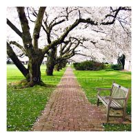 Under the Cherry Blossoms by SqueakingShoeless