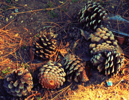 Pine Cones by Humble-Novice