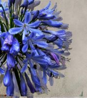 agapanthus by addon