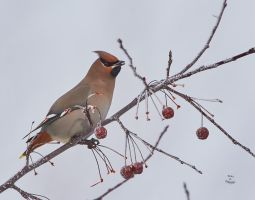 Bohemian Waxwing-Smile by JestePhotography