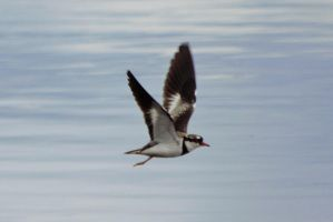 Black Fronted Dotterel by RefusedClassific