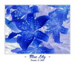Blue Lily by penelopew