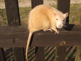 My rat, Szyszka. On a gate. by Mroczna