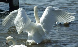 .Swan wings 1. 0049 by DelinquentDog