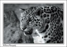Unhappy Leopard by CharmingPhotography