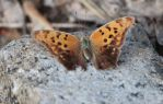 Question Mark butterfly by Laur720