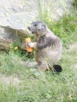 Marmot with carrot by FraterSINISTER