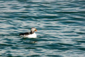Puffin by brijome