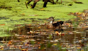 Wood Duck Hen by natureguy
