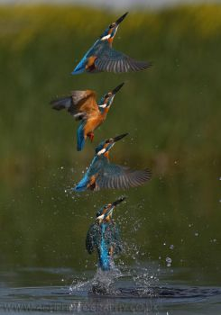 Kingfisher Montage by Albi748