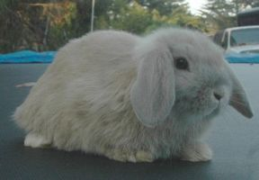 Holland Lop by Phelixas