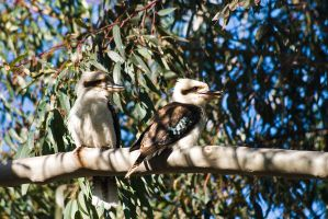 Ha ha? - Two Kookaburras by duncan-blues