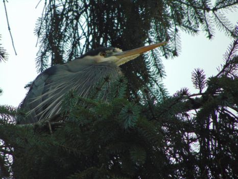 Tired Heron by ClickPicArt