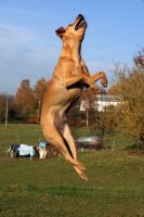 Terrier Mix Dog Jumping by LuDa-Stock