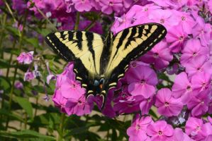 tiger swallow tail butterfly by Drakesaurian