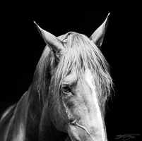 Stallion I by PaytonAdams1