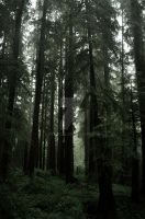 Hazy Forest Morning by Peterodl