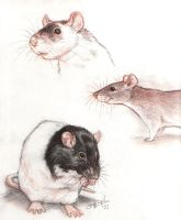 Rats from the sketchbook. by greyviolett