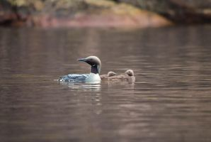 Black-throated Loon by komedian
