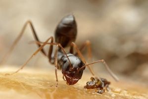 Cataglyphis ant by buleria