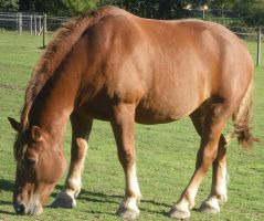 05 Suffolk Punch Grazing by chaotezy