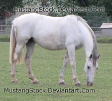 Grey horse grazing Stock by MustangStock