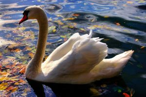 white swan by samuelvincent