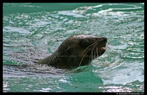 Seal by TVD-Photography