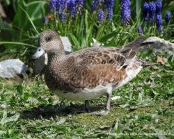 Wigeon in the Garden by vanwaglajam