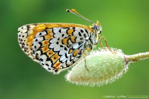 July Butterfly by Stefano-Coltelli