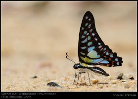 Graphium chironides malayanum by log1t3ch