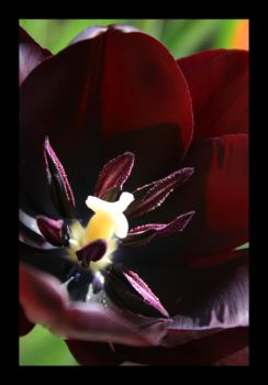super special tulip 2 by vlargg