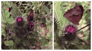 a butterfly on thistle by JulLoy