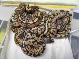 Pile Of Baby Ball Pythons by ReptileMan27