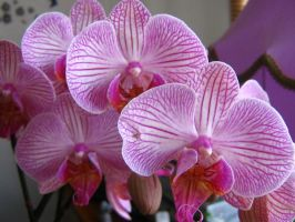 My Orchid 3. by AngelTimi88