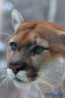 Cougar eyes by Lizziesphotos