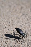 Darkling Beetle by reaction-filler