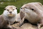 Curious Otters by Vitaloverdose