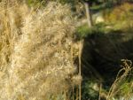fuzzy golden grass 2 by aelthwyn