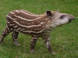 Baby Tapir by WolfyWitch