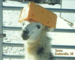 Llama in Cheese Hat by InsaneJello